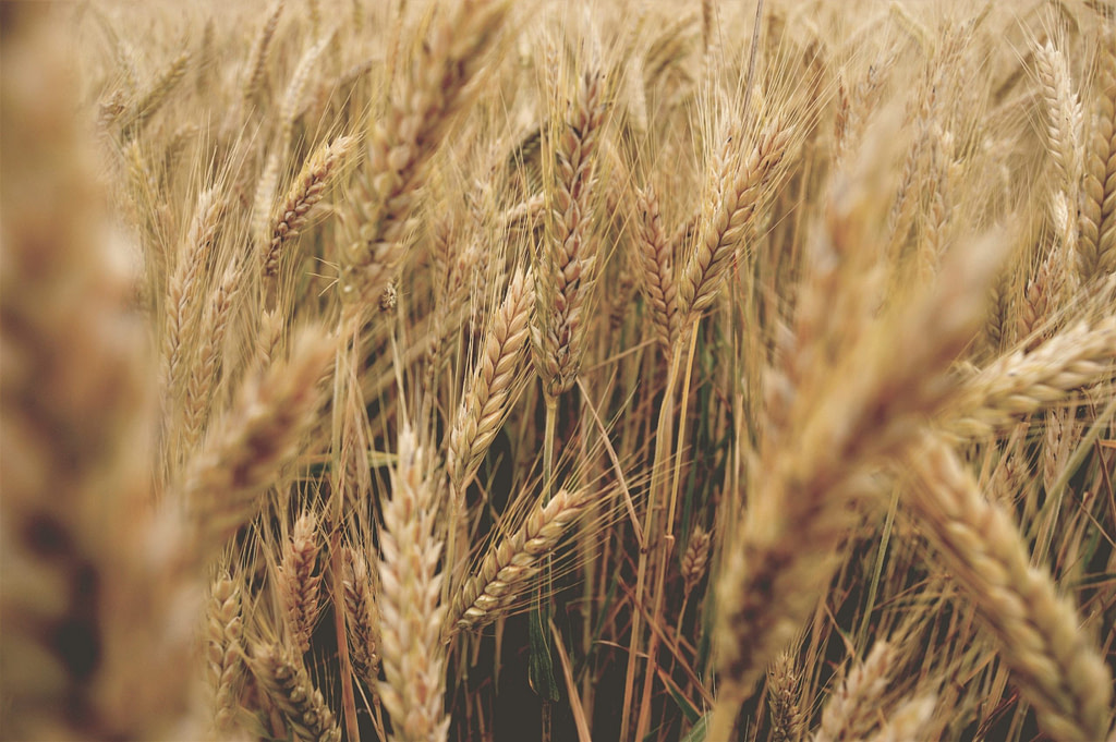 Wheat germ close up