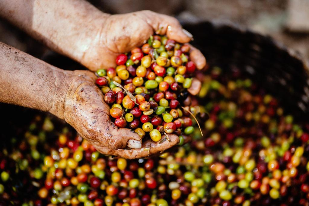 Cuban Coffee Fruit