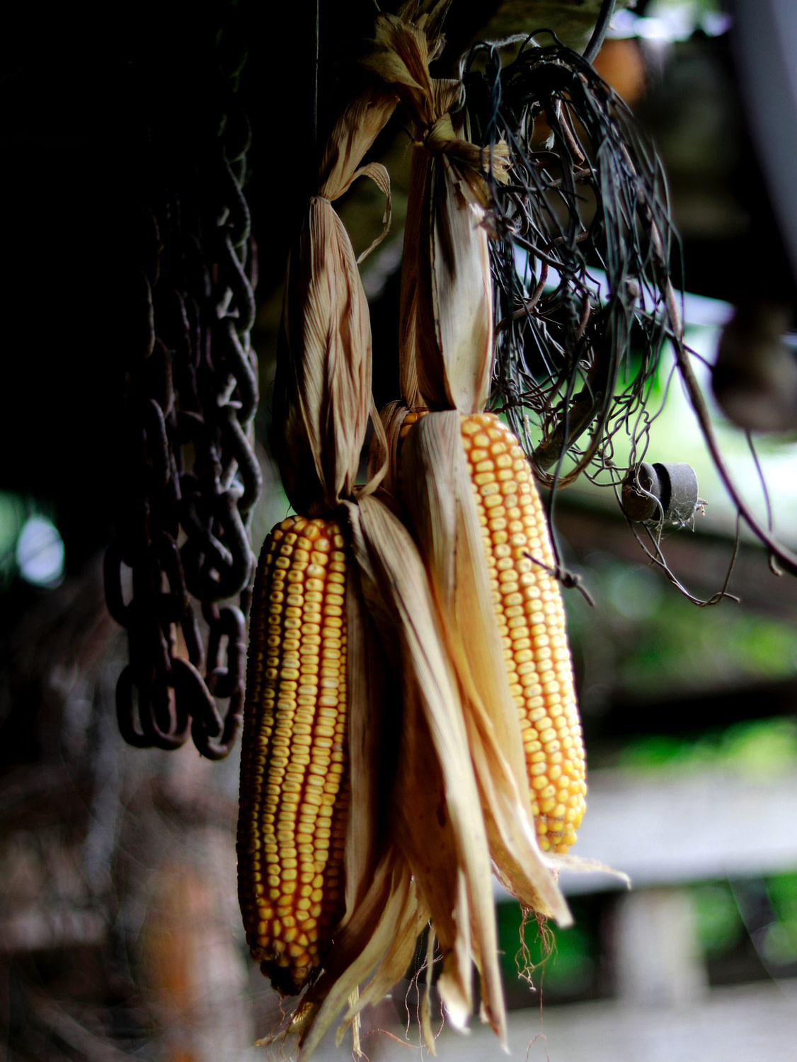 Tracking The Mystery Of Maize and Evolution of Corn